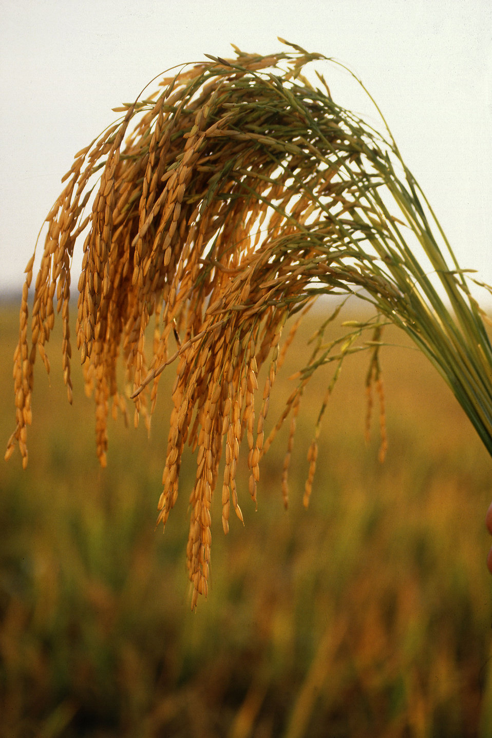 Researchers are testing a new hybrid of rice rich in resistant starch.