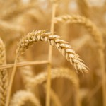 Unrefined grains provide resistant starch